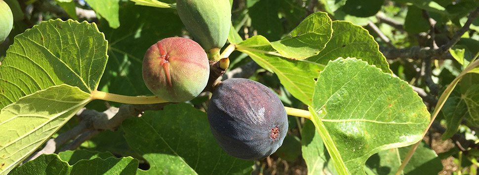 Finca Feliz - the figs keep on coming