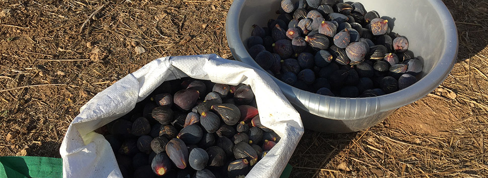 Finca Feliz - More and more figs!